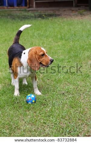 Beagle dog on green Grass - stock photo