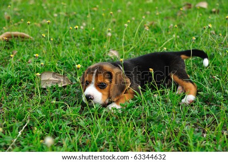 Beagle dog on the green grass - stock photo
