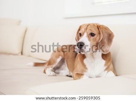 Beagle dog on the white leather sofa - stock photo