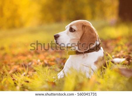Beagle dog portrait on sunshine background in nature - stock photo