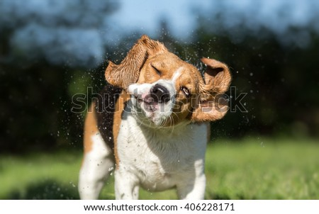 Beagle dog shaking off water - stock photo