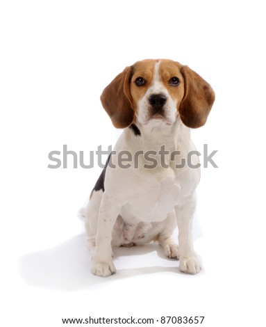 Beagle dog sit in studio, isolated on white background - stock photo