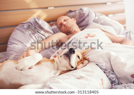 Beagle dog sleep with his owner in bed - stock photo