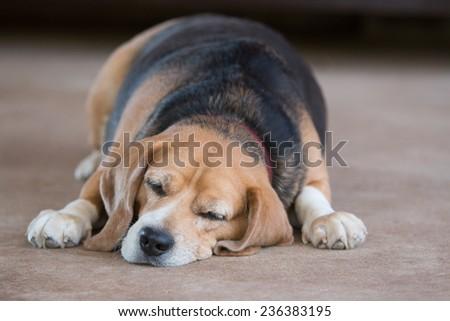 beagle dog sleeping  - stock photo