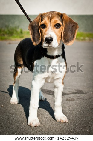 Beagle dog stands and looks - stock photo