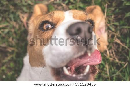 Beagle dog taking selfie photo - stock photo