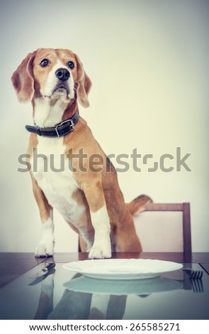 Beagle dog waiting for a dinner - stock photo