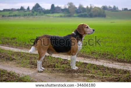 Beagle dog with green field at the back - stock photo