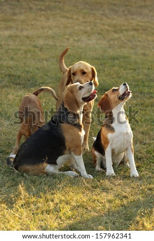 Beagle Dogs looking up for food - stock photo