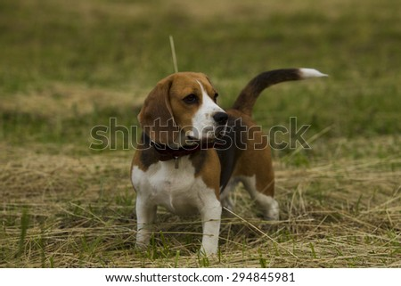 Beagle dogs standing in mown grass summer day.