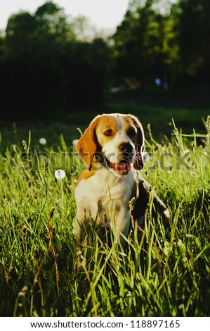Beagle for a walk in the park - stock photo