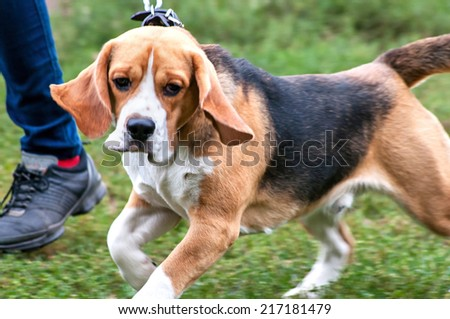 Beagle going near the master's leg
