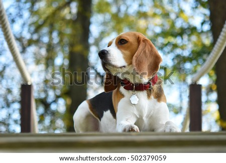 Beagle in beautiful Autumn's day