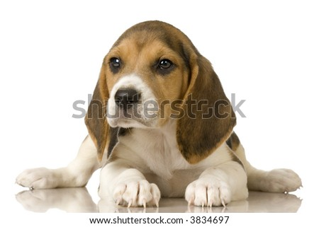 Beagle in front of white background