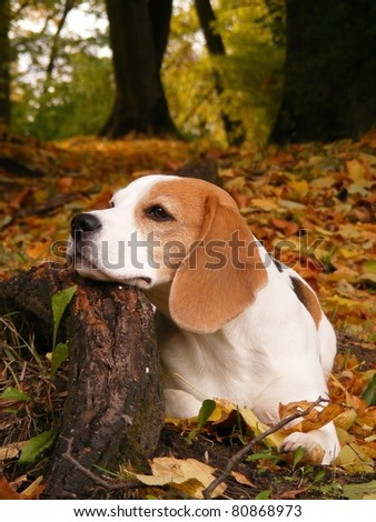 Beagle in park lying on tree root - stock photo