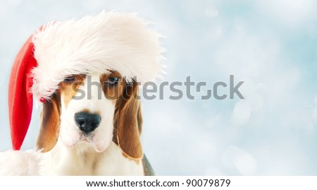 beagle in red hat on a blue background - stock photo