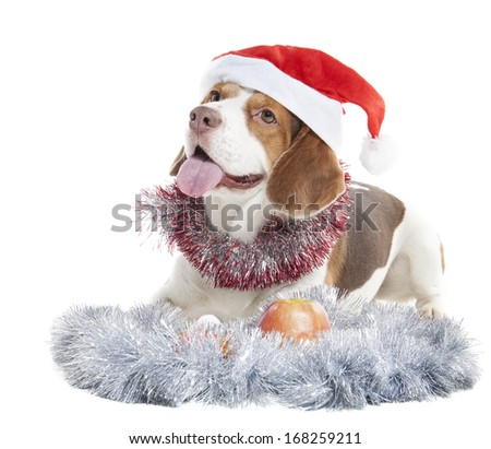 Beagle in Santa hats on a white background in studio