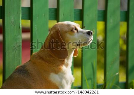 Beagle is waiting in front of the wooden fence.