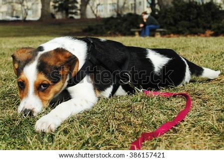 Beagle Jack Russel Terrier laying on the grass on the Drillfield at Virginia Tech, Blacksburg, VA - stock photo