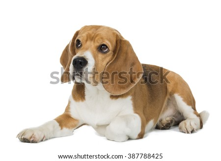 beagle lies on a white background in studio