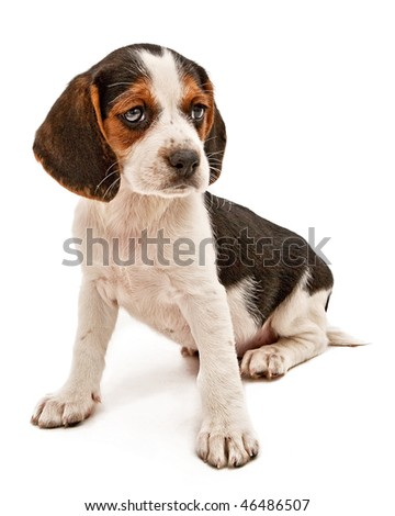 Beagle mix puppy looking to the side