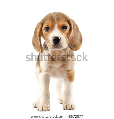 Beagle (2 months) in front of white background - stock photo