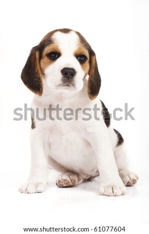 Beagle (1,5 months) in front of white background