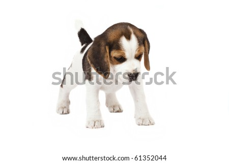 Beagle (1,5 months) in white background - stock photo