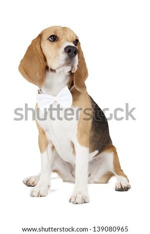 beagle on a white background - stock photo