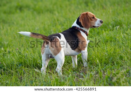 Beagle on the meadow