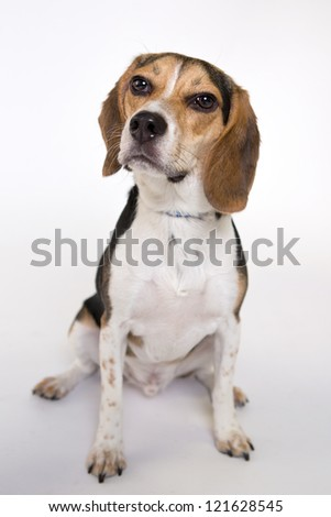 Beagle portrait. Isolated on a white background - stock photo