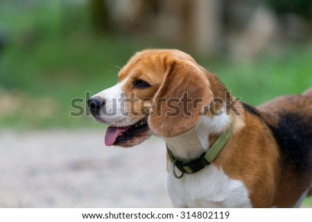 beagle posting, see more image in gallery
