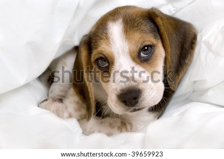 Beagle pup in a blanket