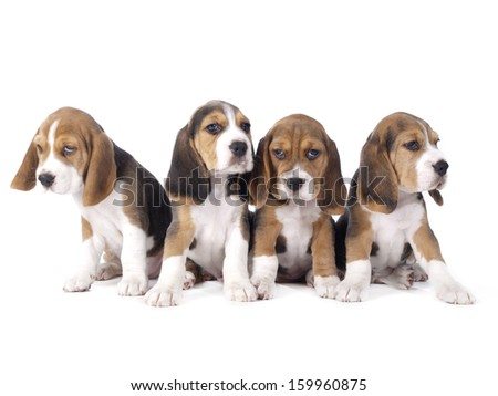 Beagle puppies sitting in a row on a white background in studio - stock photo