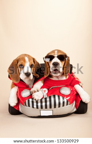 Beagle puppies sitting inside red toy car on beige background - stock photo