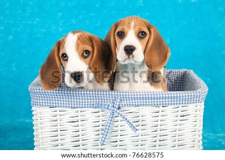Beagle puppies sitting inside white woven basket on blue background - stock photo