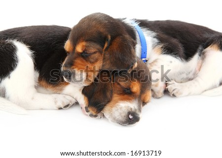 Beagle puppies sleeping
