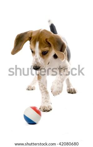 Beagle puppy chasing a ball - stock photo