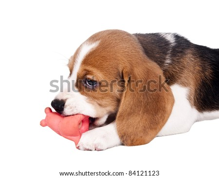 Beagle puppy chewing on a toy red - stock photo