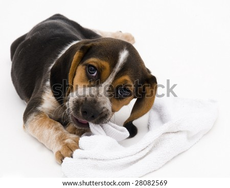 Beagle Puppy Chewing on Sock
