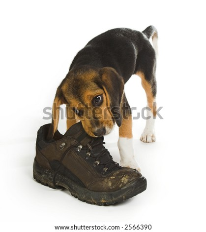 Beagle puppy dog chewing on a big walking boot - stock photo