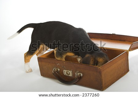 Beagle puppy dog doing a search exercise in an old suitcase