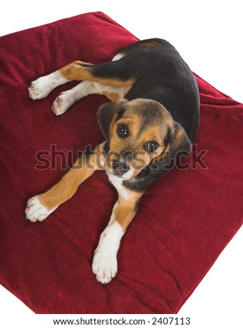 Beagle puppy dog looking up from his red pillow - stock photo