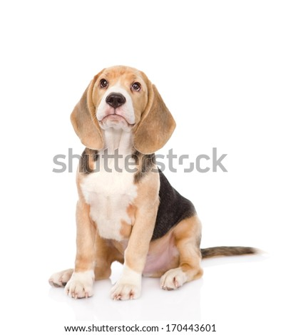 Beagle puppy dog looking up. isolated on white background - stock photo