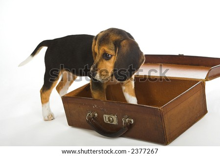 Beagle puppy dog standing in an old empty suitcase - stock photo