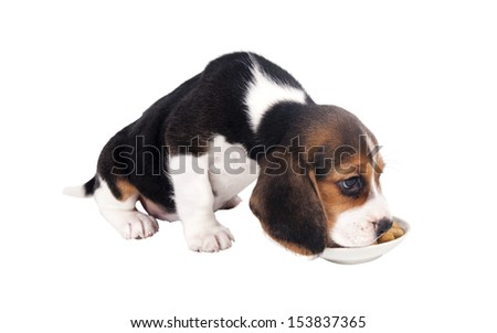 Beagle puppy eating food from a bowl