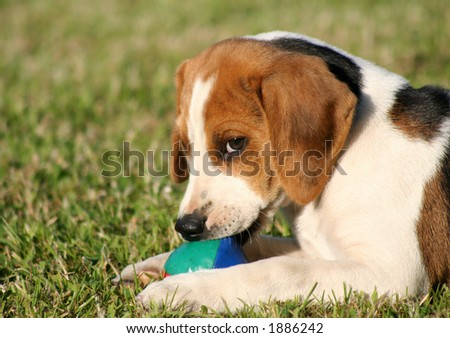 Beagle puppy guards his ball - stock photo