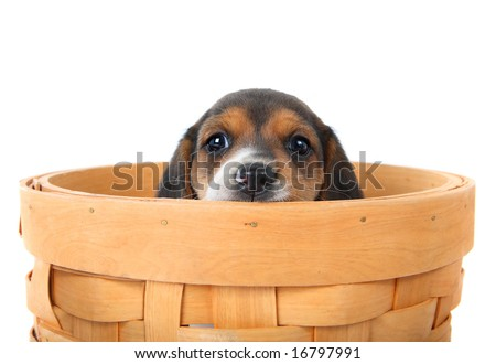 Beagle puppy in a basket - stock photo