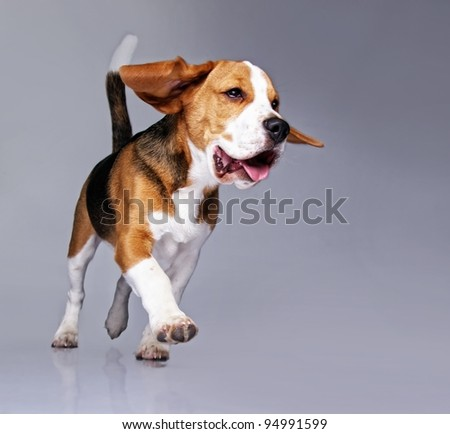Beagle puppy isolated on grey background