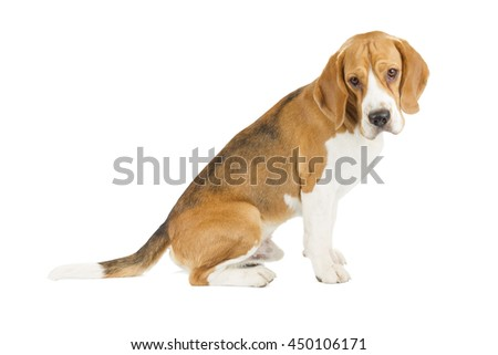 Beagle puppy isolated on white background. Side view, sitting, looking at camera